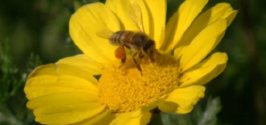 דבורה על צהוב - עותק