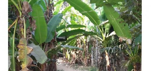 שיח בננות ירוקות