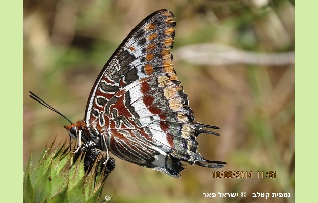נמפית-קטלב -Israel Peer