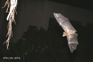 עטלף - צילום אורן פלס אתר פיקיוויקי
